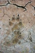 Bear Footprint - stock photo