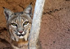 Bobcat Face - stock photo