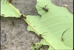 Amazon Leaf Cutter Ants Cutting - stock footage
