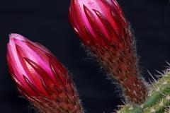 Cactus Flower Buds Close-Up Stock Photos
