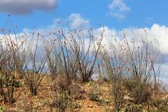 Ocotillos Blooming Stock Photos