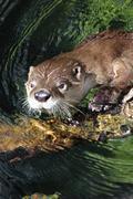 Otter Face Stock Photos
