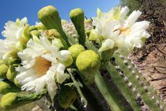 Saguaro Cactus Flowers Bloom Stock Photos