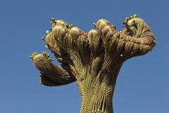 Cristate Or Crested Saguaro - stock photo