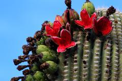 Bright Red Saguaro Fruit Stock Photos