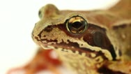 Stock Video Footage of brown frog eye close up