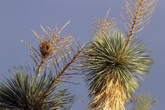 Yucca Bird Nest Stock Photos