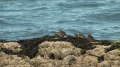 Dunlin on a rock with seaweed Stock Footage