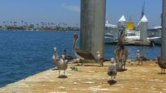 Various Seabirds On A Dock- Long Beach CA Stock Footage