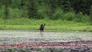 Stock Video Footage of moose eating in lake