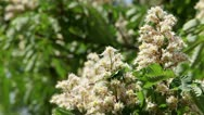 Chestnut in spring Stock Footage