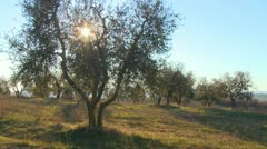 Olive trees grown on a hillside in Tuscany, Italy. Stock Footage