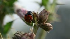 Ladybug - kisses Ant Stock Footage