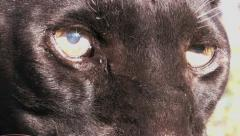 Black Leopard Eyes Stock Footage