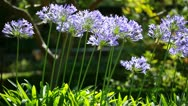 Stock Video Footage of Blue flower of agapanthus africanus