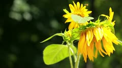 Beautiful sunflower with green leaves Stock Footage