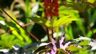 Red Leaf of Castor Oil Plant, Selective Focus Stock Footage