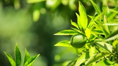 Lemon on a branch in a house garden and green background Stock Footage