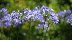 Blue flower of agapanthus africanus - stock footage