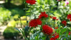 Red dahlia flower at morning light in green garden Stock Footage