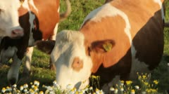 Brown and white cows eating daisies and shaking off flies (HD) c Stock Footage