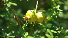 Pomegranate on the green tree Stock Footage