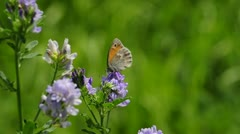 Small heath butterfly Stock Footage