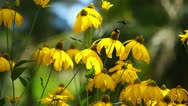 Stock Video Footage of Rudbeckias black eyed susan flowers in garden