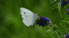 Cabbage butterfly, Pieris brassicae Stock Footage