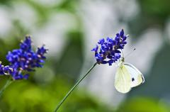 Green-veined white, pieris napi on lavender Stock Photos