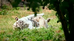 White tigress and cub. Stock Footage
