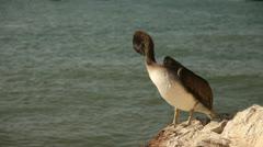 Pelican at Coast Stock Footage