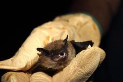 Mexican Free Tail Bat In Gloved Hand Stock Photos