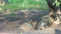 Wild Boar in forest. Stock Footage