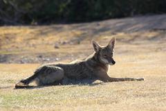 Coyote Grass Kuvituskuvat