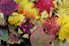 Rain Droplets Autumn Leaves Close Up Stock Photos