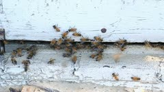Bees are swarming around a piece of wood. Stock Footage