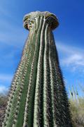 Arizona Saguaro Cactus laajakulma Kuvituskuvat