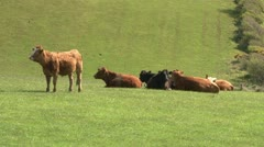 Brown Cows in Field Stock Footage