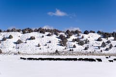 Cattle Snow Scenic - stock photo