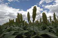 Stock Photo of Mature Sorghum
