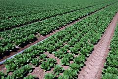 Farmland Vegetable Spinach Rows Stock Photos