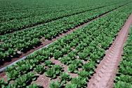Stock Photo of Farmland Vegetable Spinach Rows
