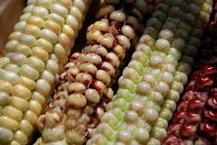 indian corn - stock photo