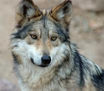 Mexican Grey Wolf - stock photo