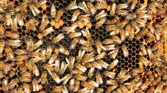 Honey bees crawl all over and work on their honey-comb. Stock Footage