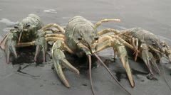 Crayfish crawling on their business Stock Footage