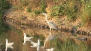 Grey heron looking for food on the lake Stock Footage