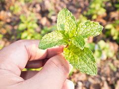 Lemon plant in hand Stock Photos