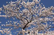 Stock Photo of Cherry Blossom Tree
